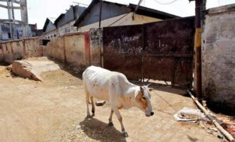 Gujarat to tighten cow slaughter law